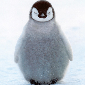 fuzzy baby penguin in the snow