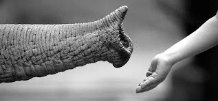 A photograph of an elephant trunk reaching out to a hand.